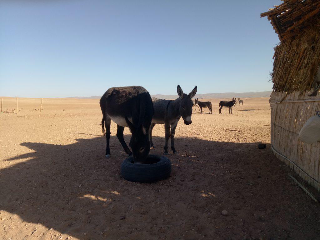 animaux du desert